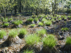 Native Stand Tussock Sedge