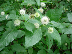Cephalanthus occidentalis - Buttonbrush