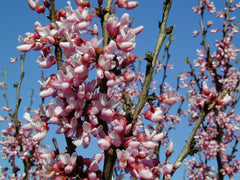 Cercis canadensis - Eastern Redbud
