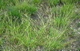 Plant Poverty Grass