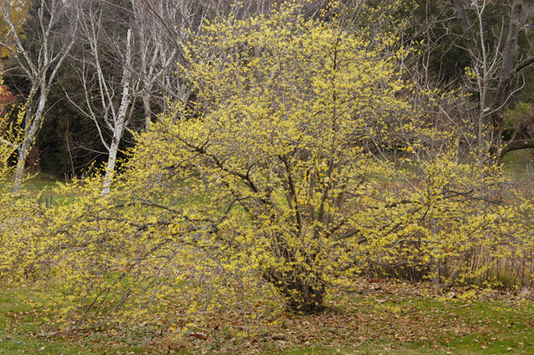 Hamamelis Virginiana Witch Hazel Sussex Conservation District