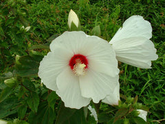 Bloom Swamp Rose-mallow