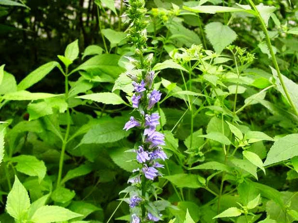 Lobelia Siphilitica Blue Lobelia Sussex Conservation District