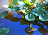 Foliage and Bloom Spatterdock