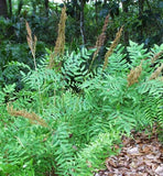 Plant Royal Fern