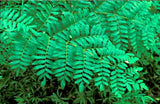 Foliage Royal Fern