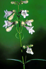 Bloom Closeup Foxglove Beardtongue