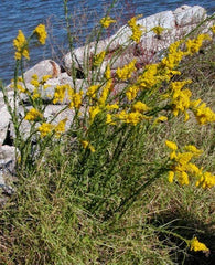 Plant Seaside Goldenrod
