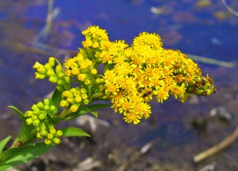 Solidago sempervirens - Seaside Goldenrod