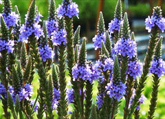 Closeup of Blooms Blue Vervain