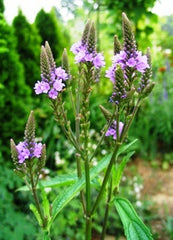Blooms Blue Vervain