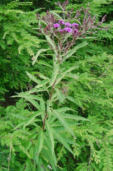 Foliage and Bloom New York Ironweed