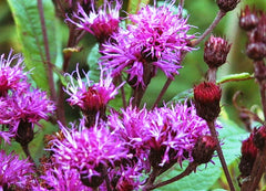 Closeup of Bloom New York Ironweed