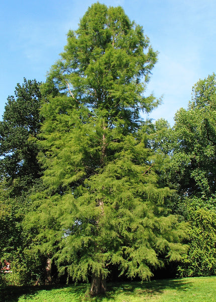 Taxodium distichum - Bald Cypress