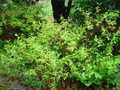 Black Huckleberry - Gaylussacua baccata