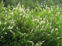 Clethra alnifolia - Sweet Pepperbush