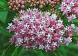 In Bloom Swamp Milkweed