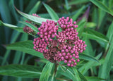 In Bud Swamp Milkweed