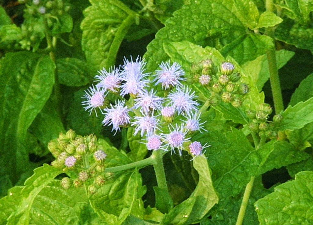 Bloom Blue Mistflower