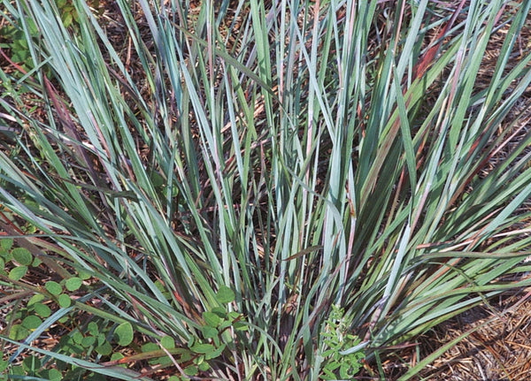 Foliage Little Bluestem