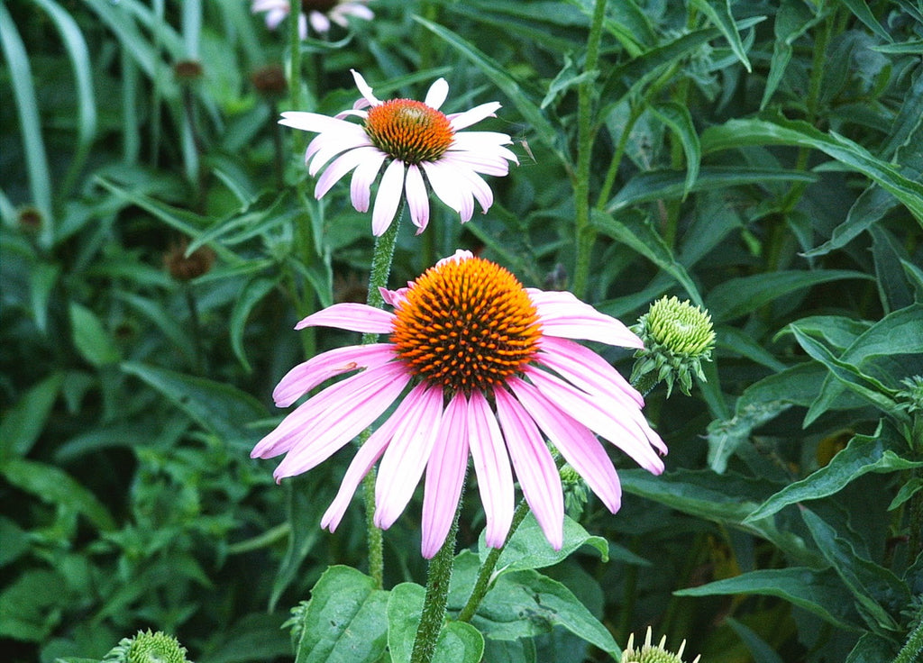 Flowers Purple Coneflower