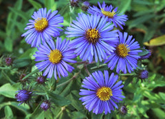 Bloom New England Aster