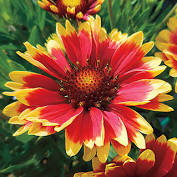 Gaillardia pulchella - Indian Blanket