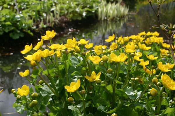 Calthra palustris - Marsh Marigold