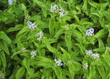 Bloom & Foliage Blue Mistflower