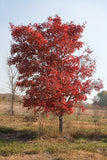 Acer rubrum - Red Maple