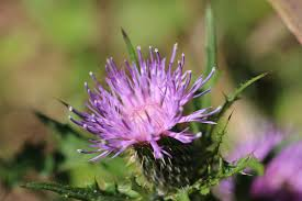 Cirsium discolor - Pasture Thistle