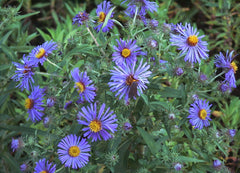 Plant New England Aster