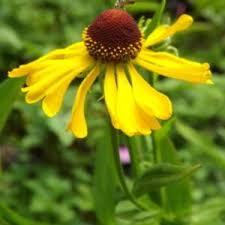 Helenium flexuosum - Purple Headed Sneezeweed