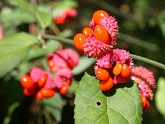 Strawberry Bush - Evonymus americanus