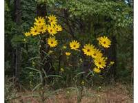 Helianthus angustifolius - Swamp Sunflower
