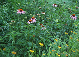 Plants with Black Eyed-Susans Purple Coneflower