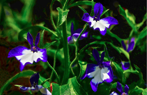 Lobelia Inflata Leaf Cut and Sifted 4 oz