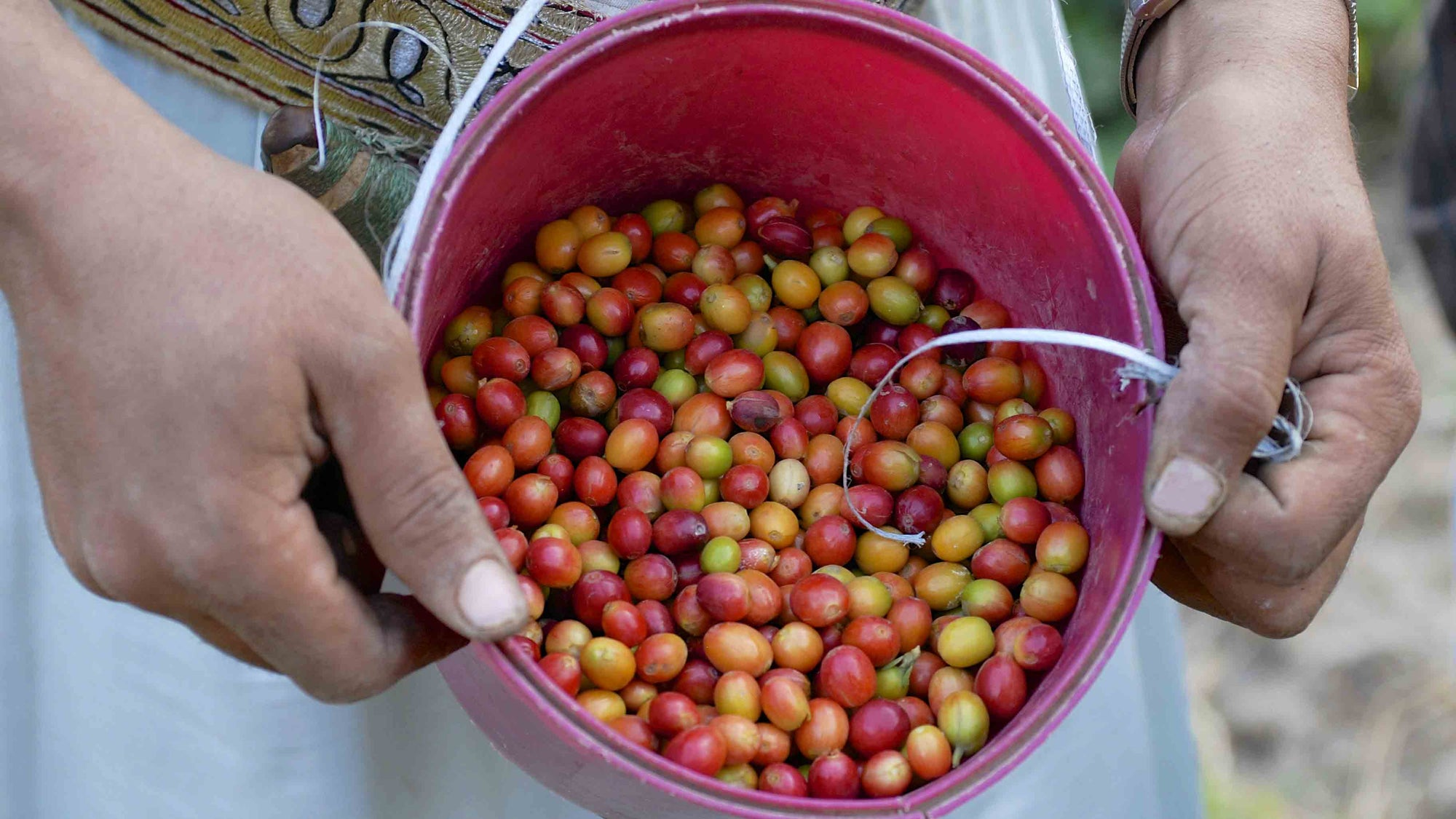 Yemeni coffee cherries in bucket, Taiz Governorate