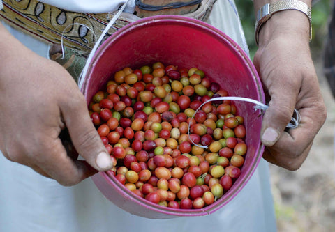 Yemeni man holding basket of bright red coffee cherries