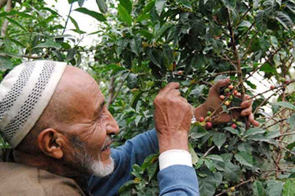 Yemen coffee farmer picking coffee cherries