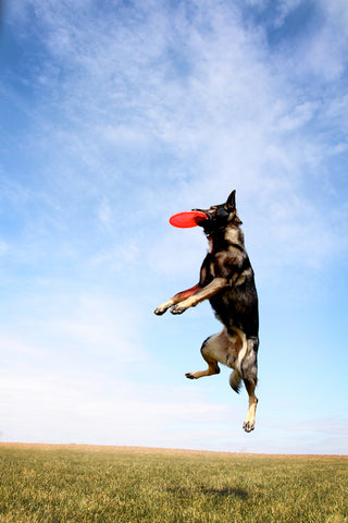 German Shepherd Catching Frisbee