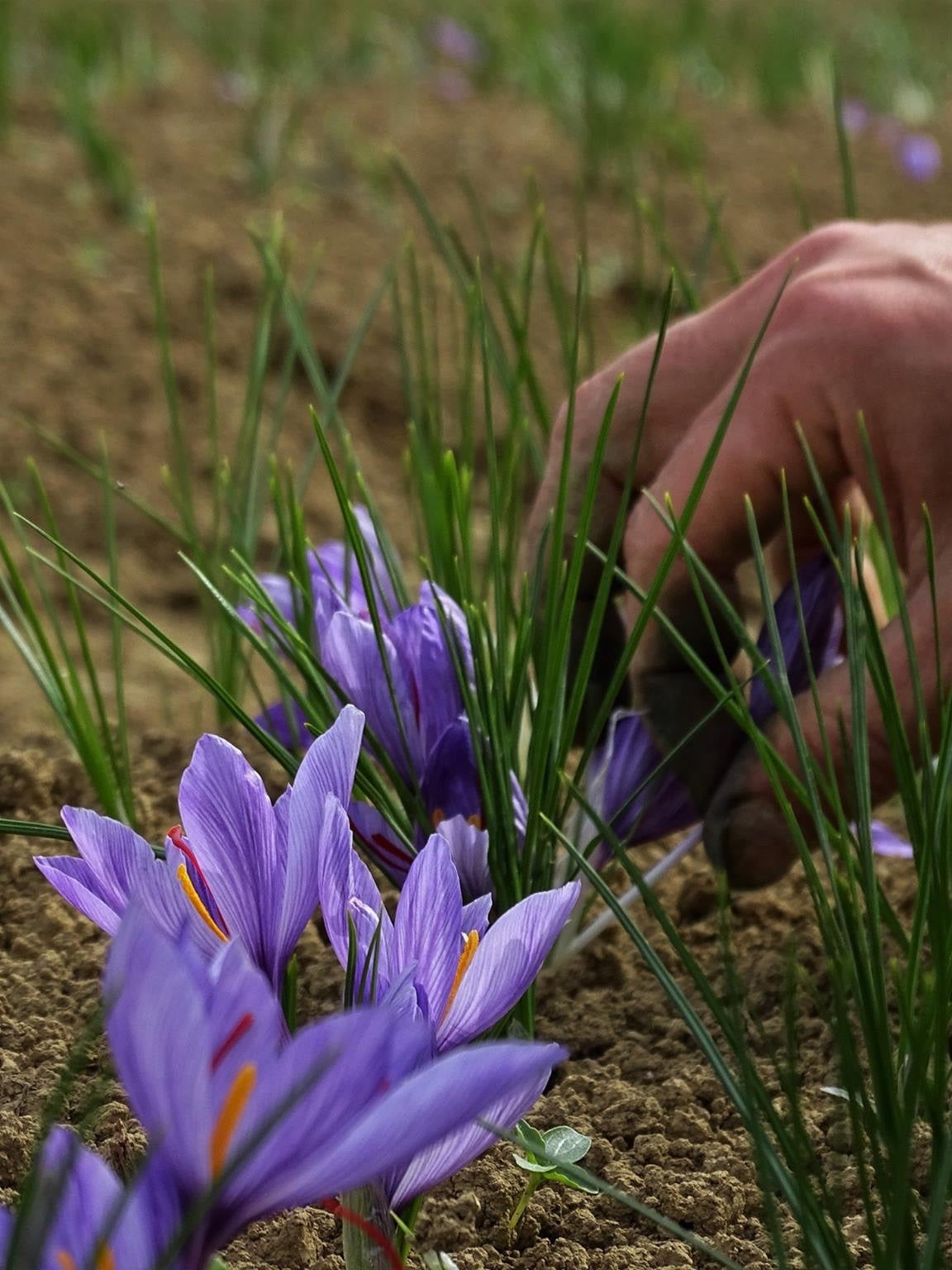 Saffron flowers - saffron picking - Why is saffron the most expensive spice in the world