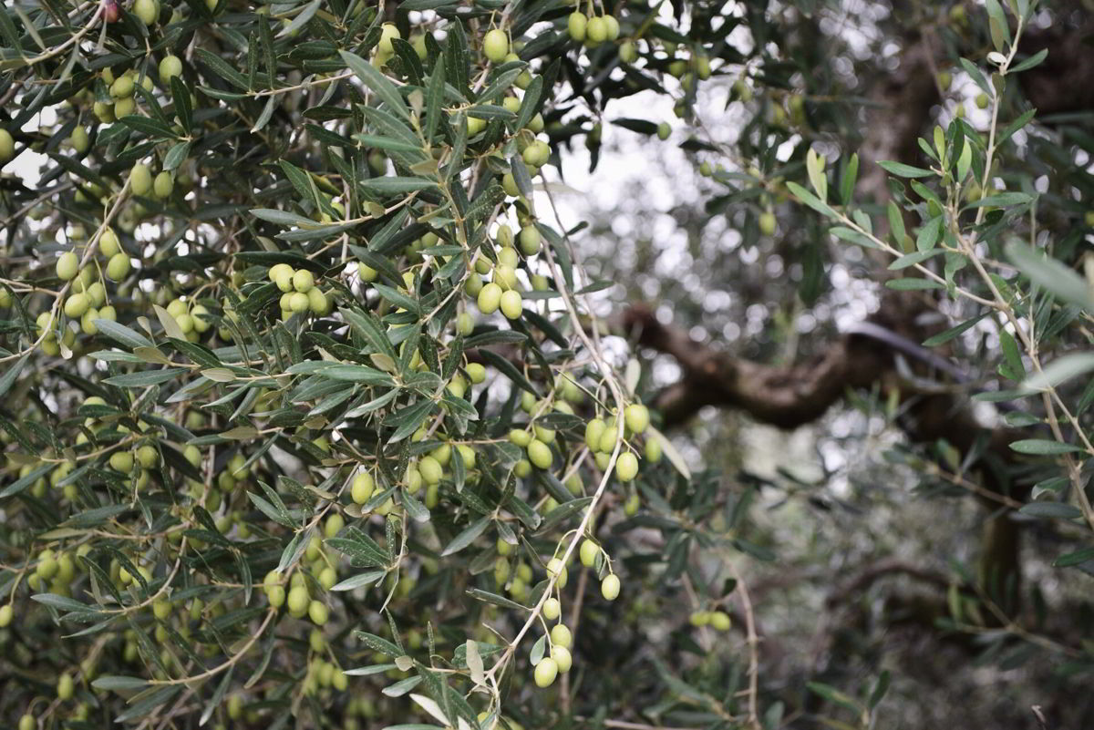 Olive Tree Myths & Stories