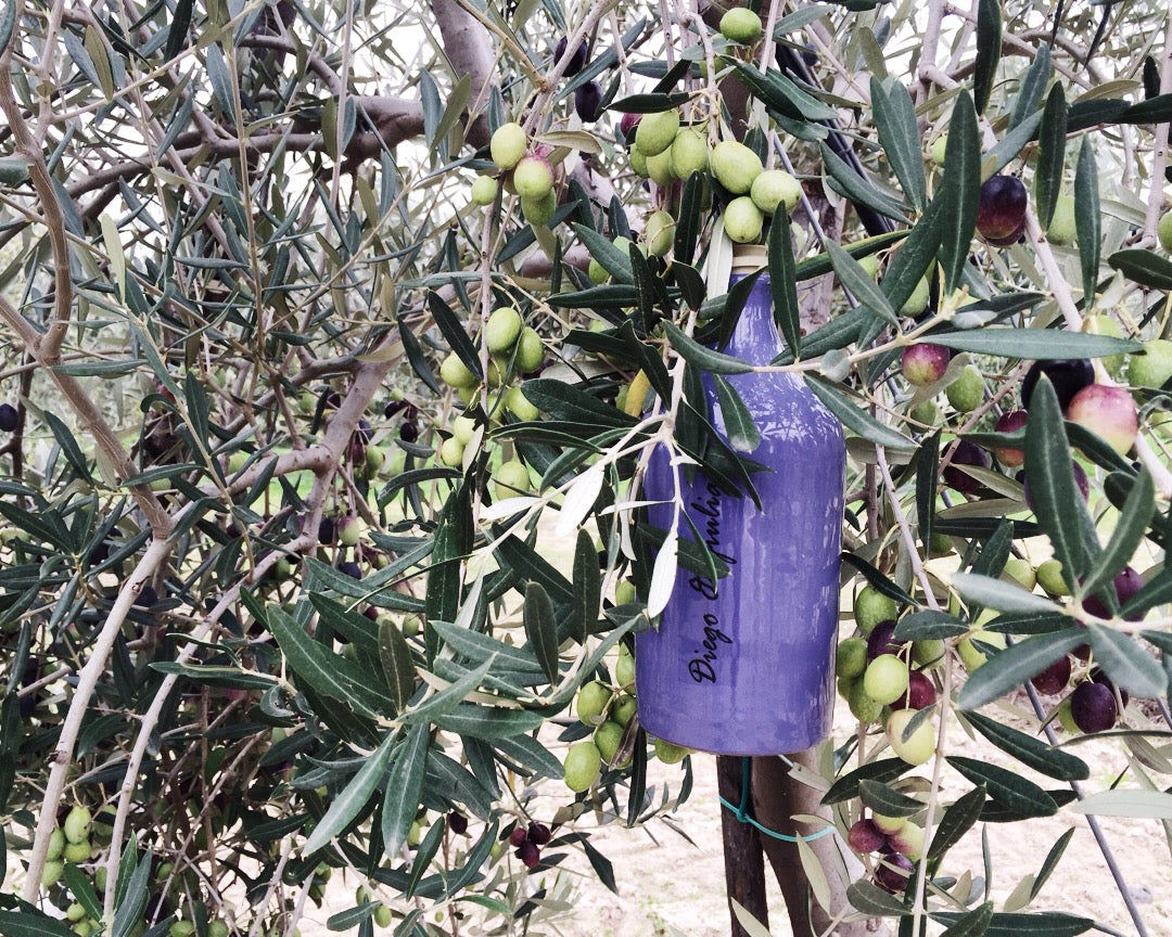 Adopt and Olive Tree Frantoio Muraglia - the Red Beetle