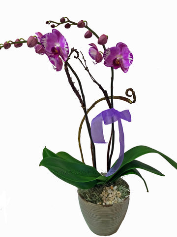 Phalaenopsis plant  WHITE ONLY DOUBLE SPIKE