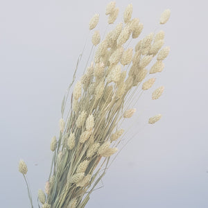 Dried Flowers - Phalaris Natural / زهور