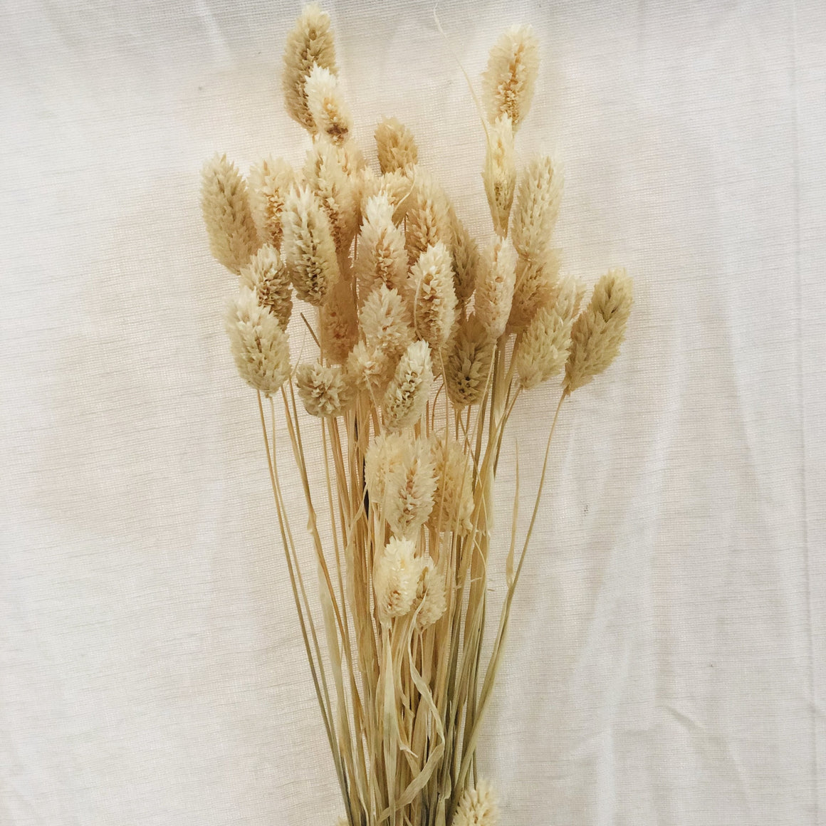 Dried Flowers - Phalaris White / زهور