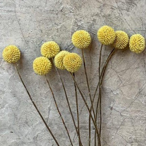 Dried Flowers -  Craspedia