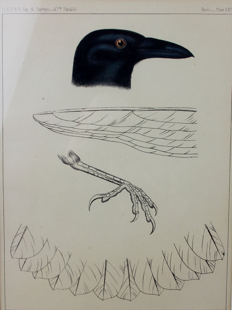 USPRR Plate XXIII Lithograph of Crow/Blackbird of wings and foot, 47th Parallel Ca 1859, #1399