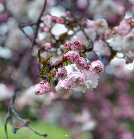 Cherry Blossoms in Japan - Healthy Travel Guide | Neat Nutrition. Clean, Simple, No-Nonsense.